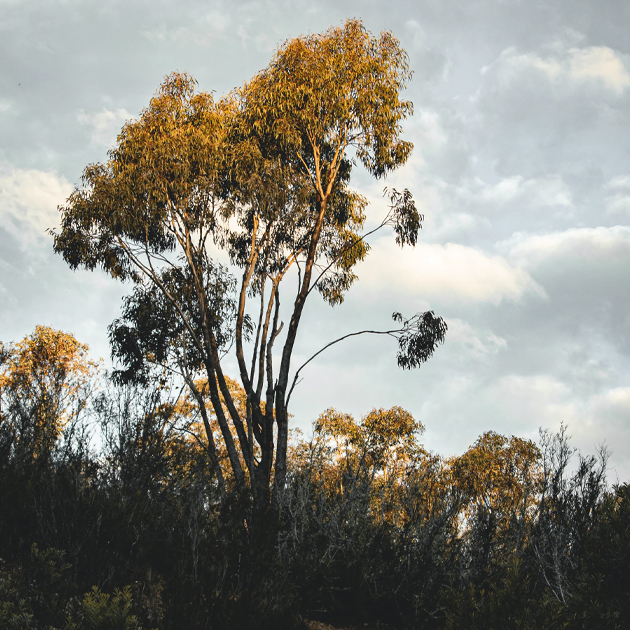 Cycling at Mount Stromlo Forest Park ACT Gum Trees Australia's Best Bike Trails